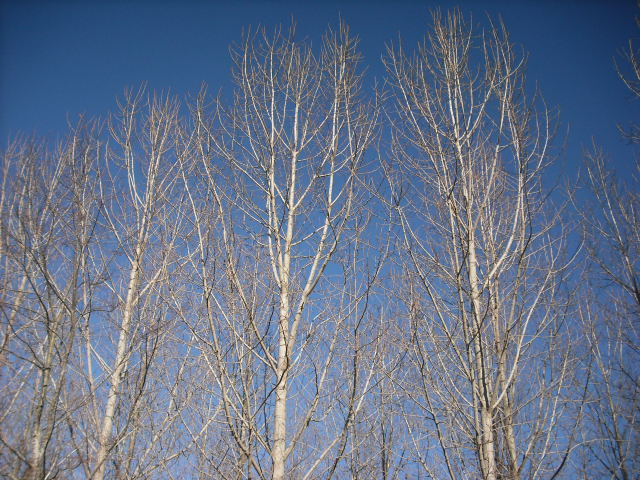 Poplars & Willows – An Option to Maximise Farming and Carbon Revenue